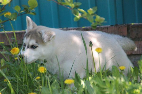 Сколько стоит транспортировка щенка хасков недорого из Волгоград в Уфа