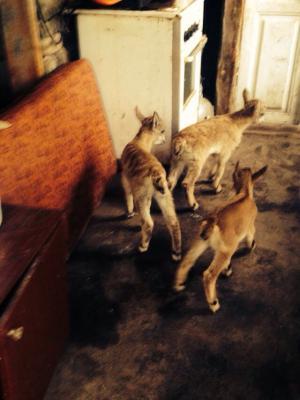 Отвезти горные коз дешево из Махачкала в Москва