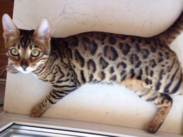 Услуги по доставке кошки из Россия, Санкт-Петербург в Украина, Одесса
