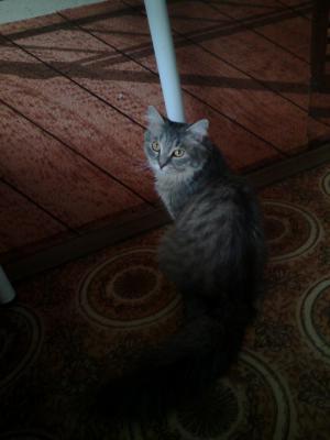 Доставить Кошек  1 молодую кошечку автотранспортом из Москва в Севастополь