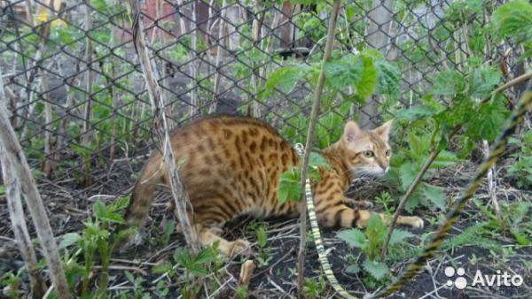 Сколько стоит доставить кошку недорого из Белорецк в кгаснодар