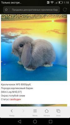 Отвезти карликовый кролика недорого из Россия, Москва в Азербайджан, Бак