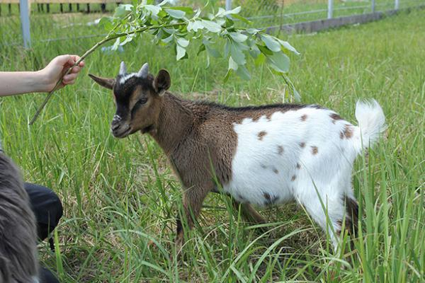 Аренда скотовоза для камерунского козлика из Кашира в Златоуст