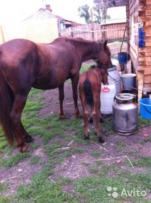 Отвезти лошадь С жеребенком из Заозерный в Минусинск