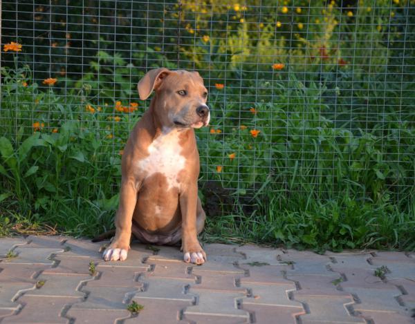 Перевозка щенка ам.стаф 12 кг(примерно), возраста 4 мес дешево из Россия, Москва в Армения, Ереван
