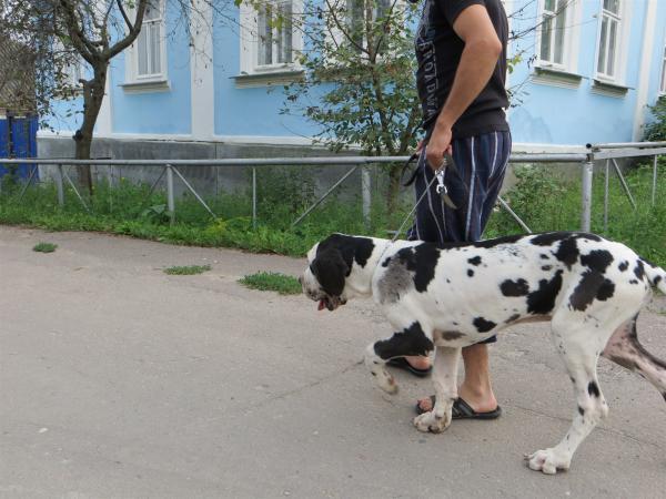 Перевезти щенка немецкого дога из Острогожск в Москва