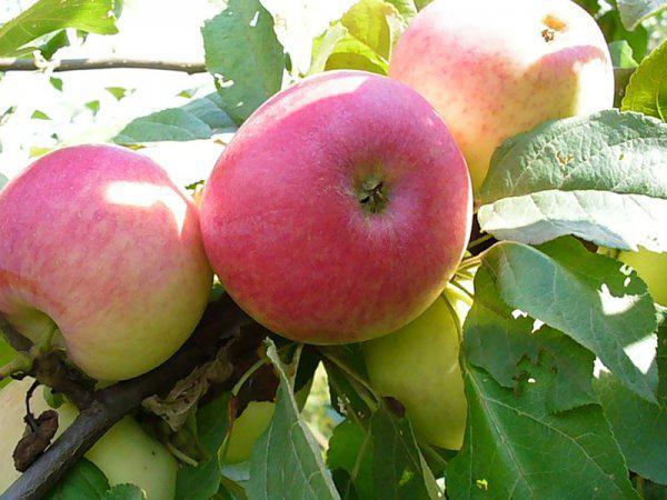 Перевозка яблок из Хвалынск в Челябинск