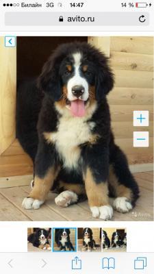 Доставка собаки  из Россия, Ижевск в Китай, Гуанчжоу