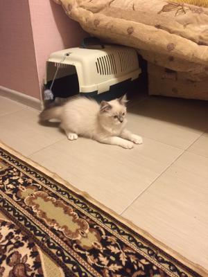 Сколько стоит перевезти котенка недорого из Краснодар в Владивосток