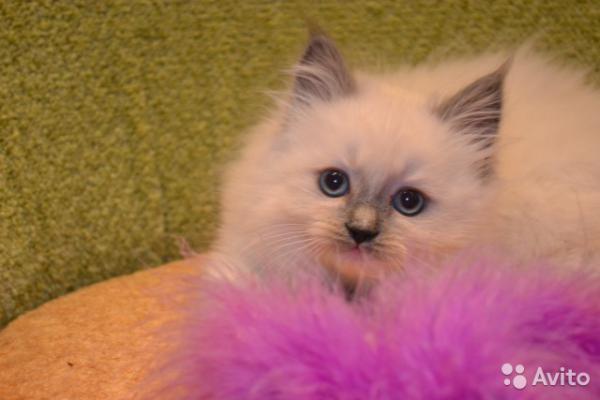 Перевезти котенка недорого из Краснодар в 40 км Владивостокское шоссе