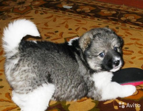 Доставка щенка из Санкт-Петербург в Уфа