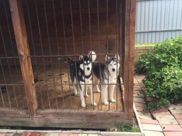 Доставить собак из Кострома в Москва