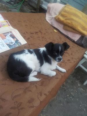 Перевезти собаку  маленькую, типа чихуу из Россия в Россия