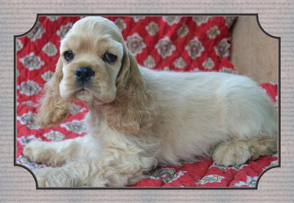Транспортировать щенка американского кокера из Украина, Одесса в ЮАР, Кейптаун