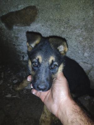 Отвезти собаку  -щенка дешево из Армения, Ванадзор в Россия, Сочи
