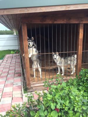 Перевезти собак хаски взрослых автотранспортом из Костромская область в Балашиха