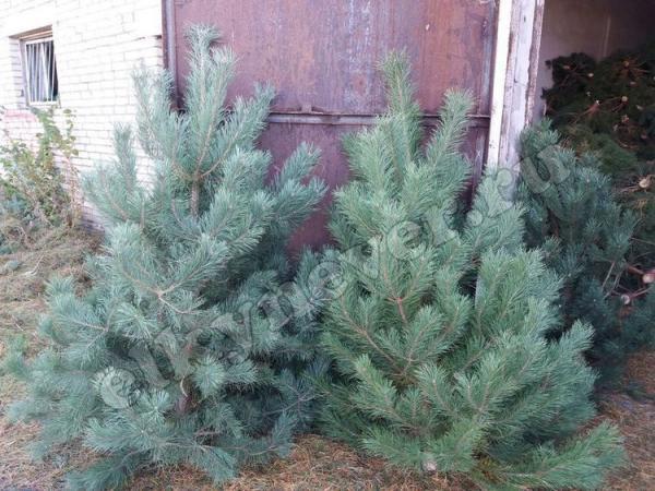 Сколько стоит доставка живых новогодних елки из Неверкино в Липецк