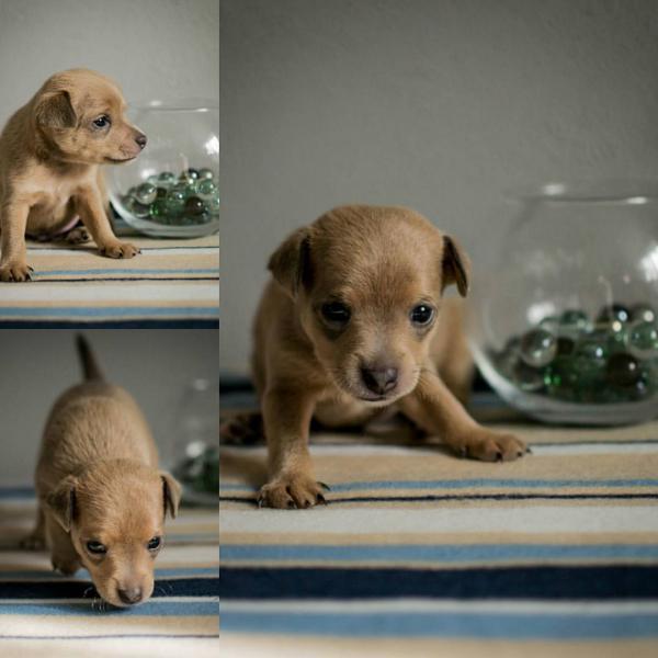 Доставить щенка той терьера 1, 5 месяца вес 650 гр дешево из Самара в Санкт-Петербург