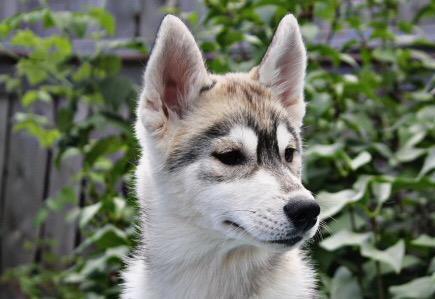 Перевозка собаки  хасков щенка недорого из Братск в Таксимо