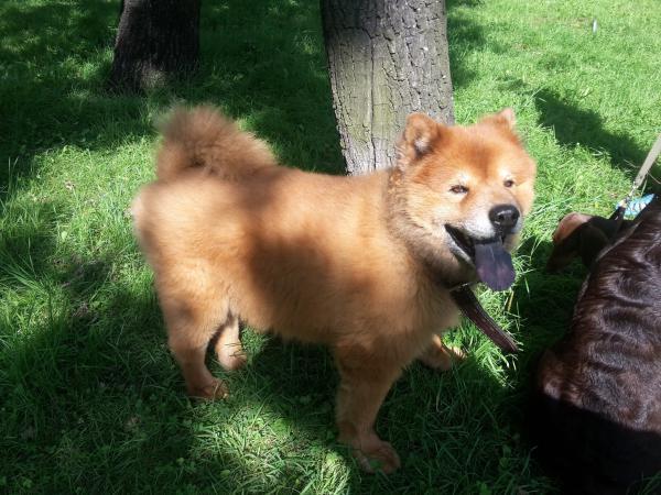 Сколько стоит перевезти собаку  чау чау 5 лет недорого из Санкт в Казань