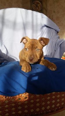Доставить щенка американского питбультерьера, 2 месяца недорого из Уссурийск в Хабаровск