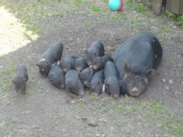 Отвезти свиней вьетнамские В клетках дешево по Черноголовке