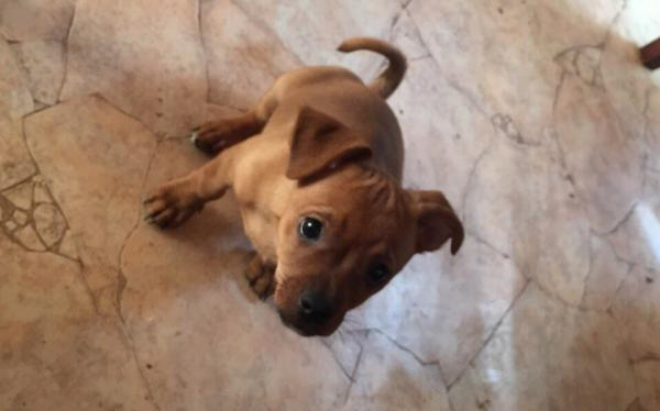 Доставка щенка чихуы хуа недорого из Армавира в Тюмень
