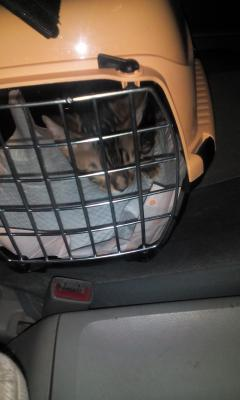 Сколько стоит транспортировка котенка В переноске недорого из Благовещенска в Комсомольск-на-Амуре