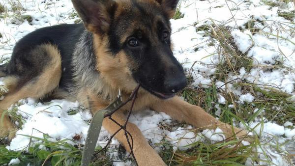 Перевозка щенка немецкой овчарок автотранспортом из Нижневартовска в Тверь