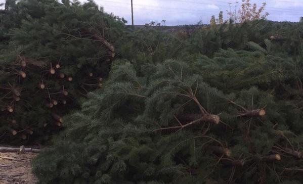 Заказ грузотакси для перевозки елки срубленные попутно из Алинкино в Клин