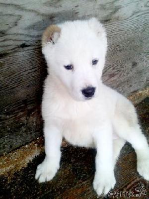 Доставка собак из Тюмени в Нижневартовск