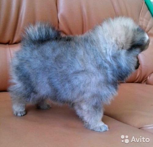Транспортировка маленькой собачки дешево из Иванова в Сургут
