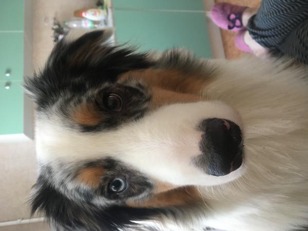 Услуга по транспортировке собаки , австралийской овчарки, беза клеток из Лермонтова в Екатеринбург